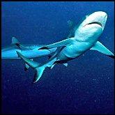 Sharks T